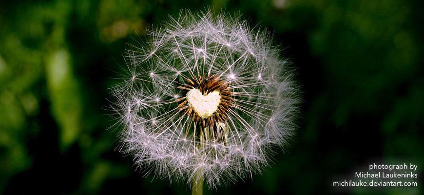 Dandelion-heart