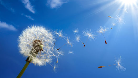 dandelion, blue sky