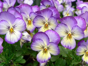 *Violets Are Not Impaired Daisies*